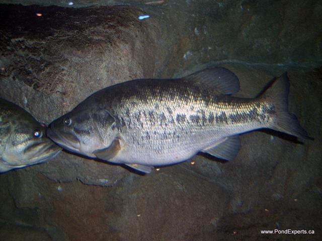 Bass Pro Shops Largemouth Bass