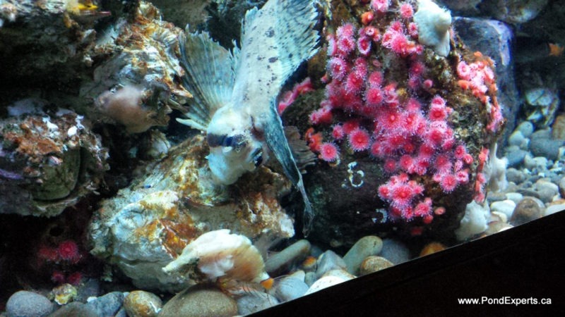 Grunt and Sailfin Sculpins At Ripley's Aquarium of Canada