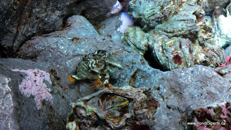Grunt Sculpin At Ripley's Aquarium of Canada