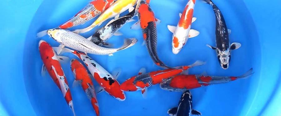 imported Japanese koi at hydrosphere water gardens