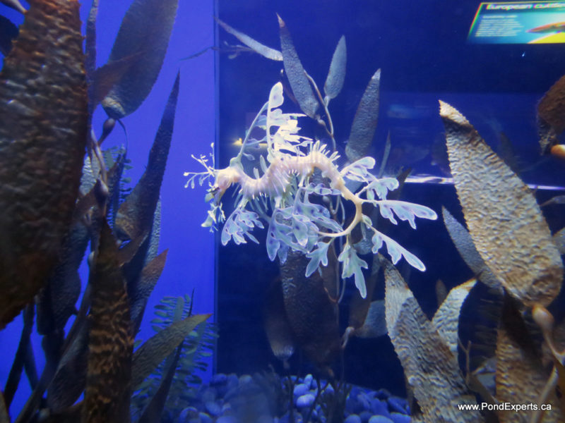 Leafy Seadragon at Ripley's Aquarium of Canada