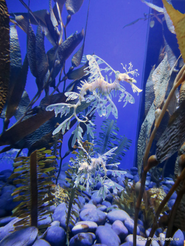 Leafy Seadragons at Ripley's Aquarium of Canada