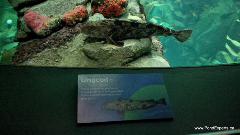 Lingcod at Ripley's Aquarium of Canada