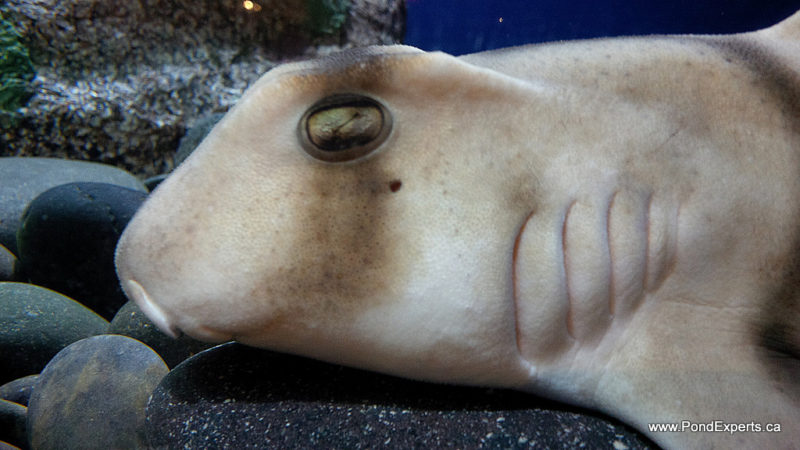 Port Jackson Shark at Ripley's Aquarium of Canada