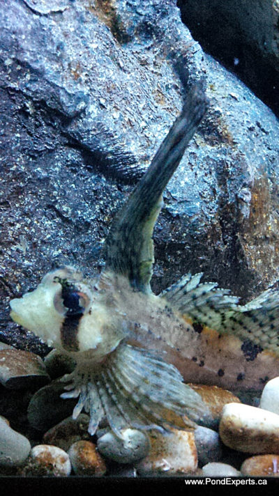 Sailfin Sculpin at Ripley's Aquarium of Canada
