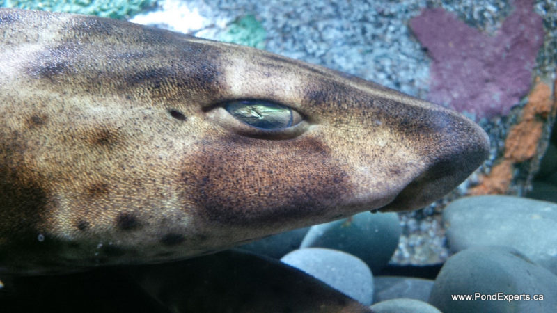 Swell Shark at Ripley's Aquarium of Canada