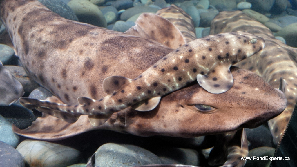 Swell Sharks at Ripley's Aquarium of Canada