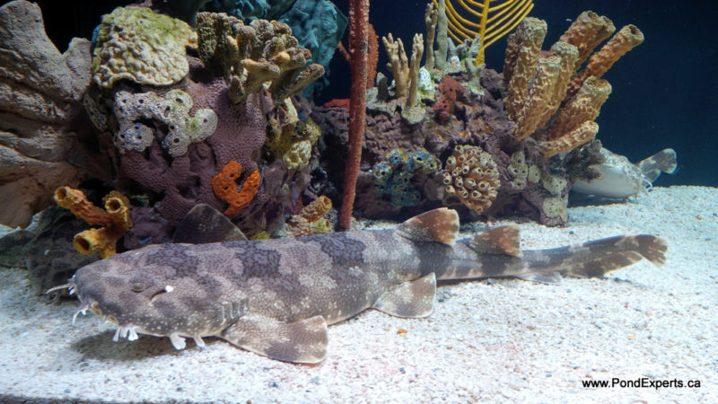 Wobbegong Shark at Ripley's Aquarium of Canada