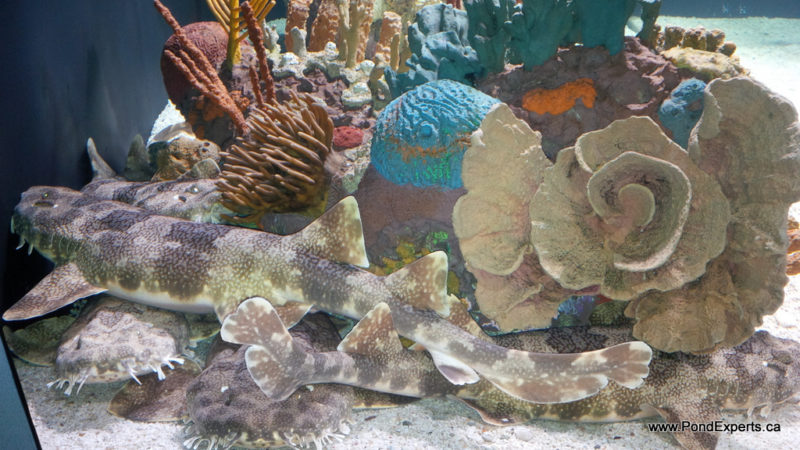 Wobbegong Sharks at Ripley's Aquarium of Canada