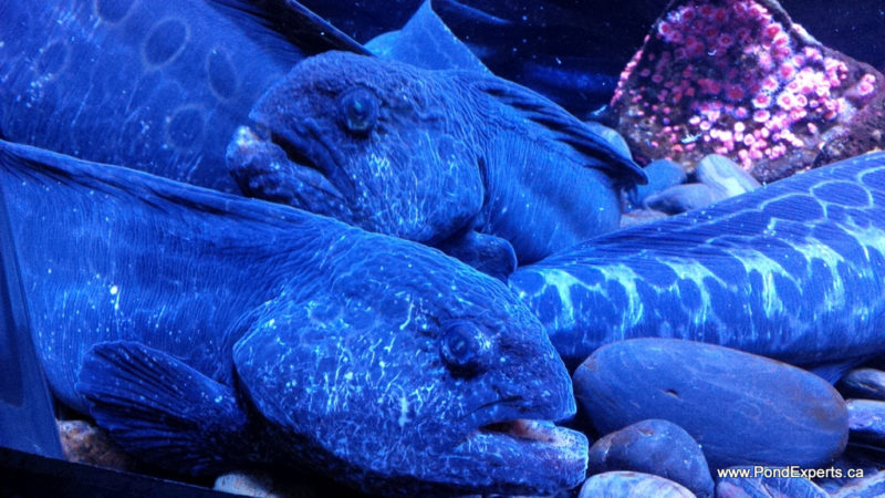 Wolf Eels at Ripley's Aquarium of Canada