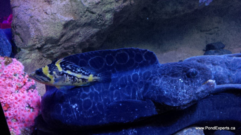 Wolf Eel and China Rockfish at Ripley's Aquarium of Canada