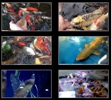 Koi Pond Videos