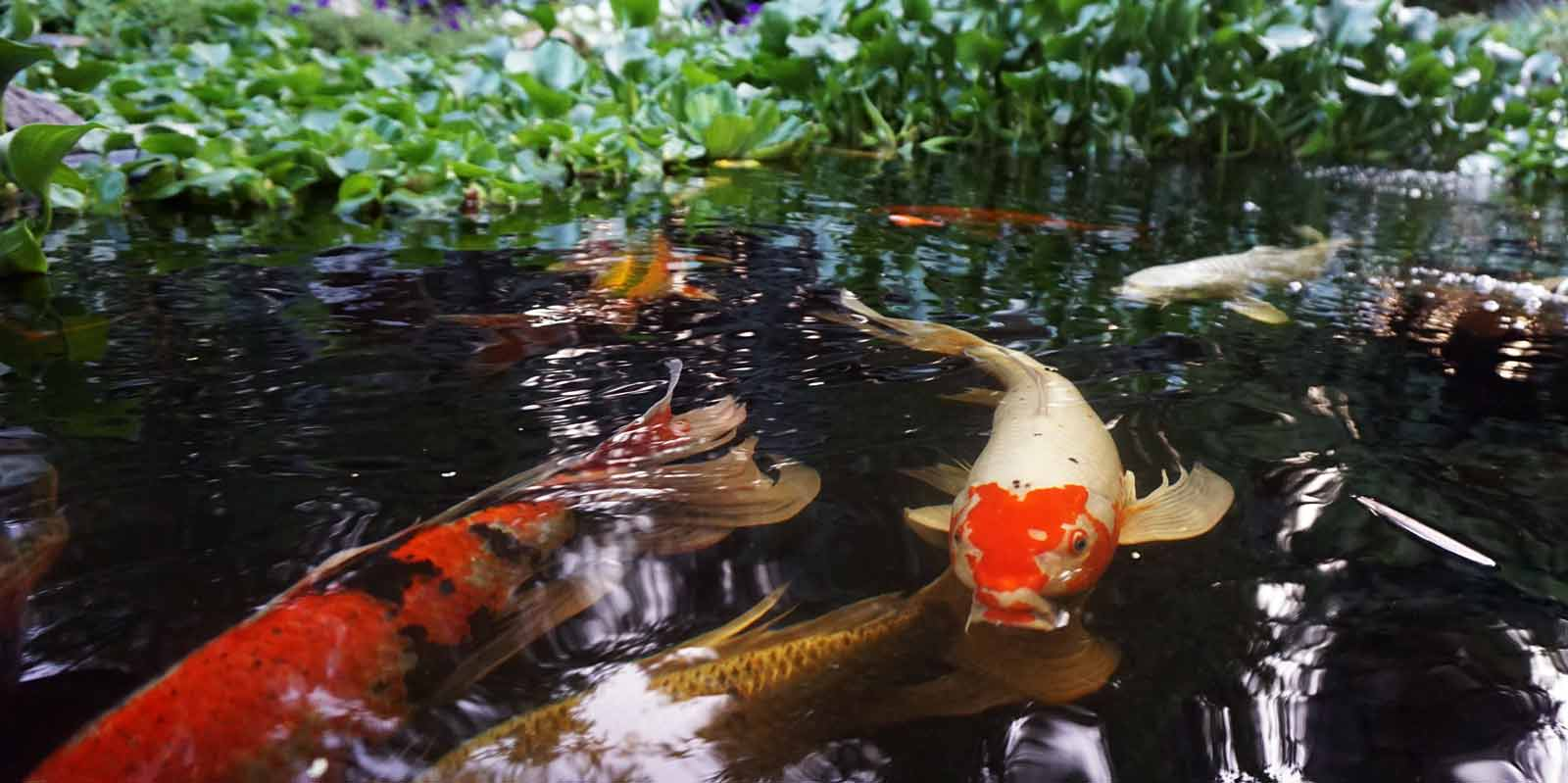 Pond photos hydrosphere water gardens for Koi fish water