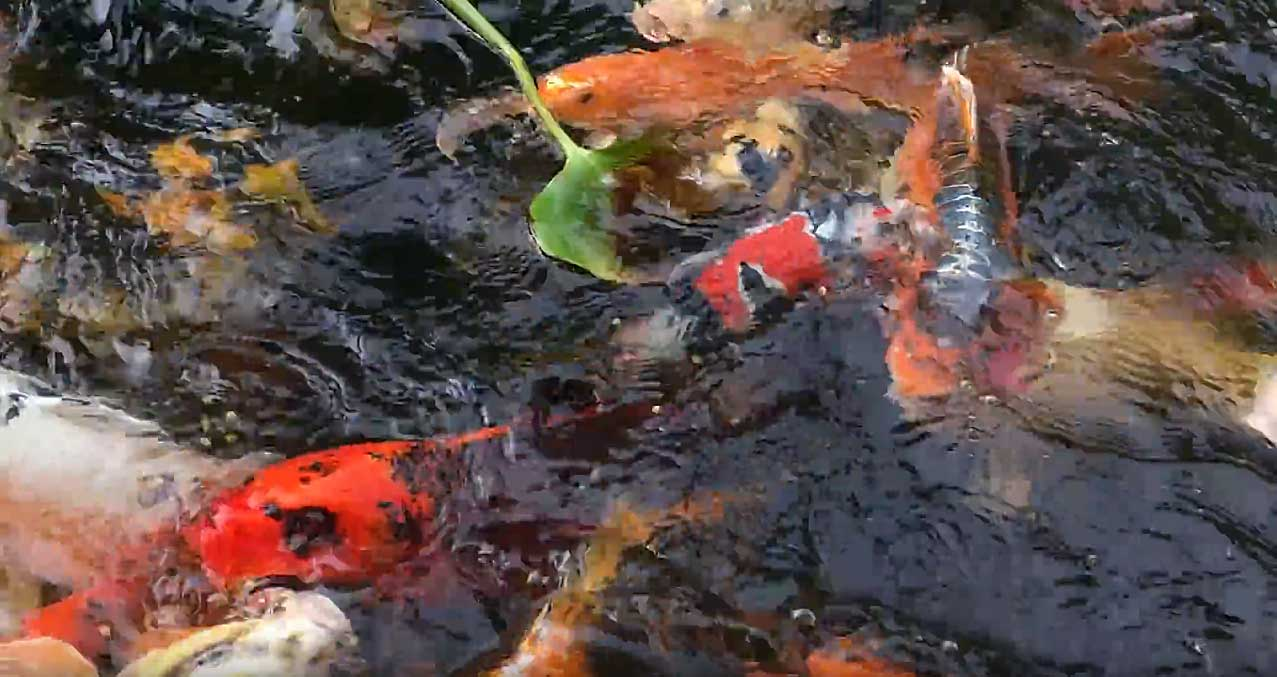 Hydrosphere pond supplies canada koi aquatic plants for Fish pond stuff