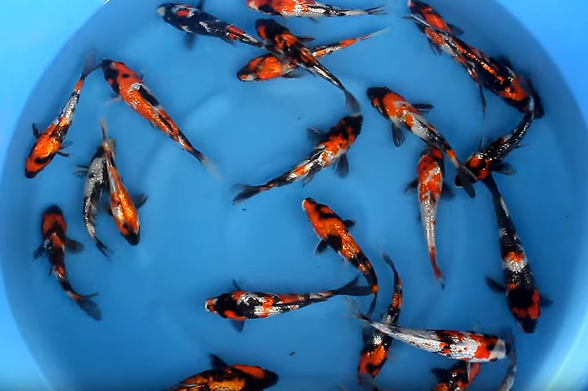 Hydrosphere pond supplies canada koi aquatic plants for Japanese koi centre
