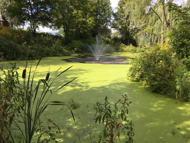 duckweed covering large pond