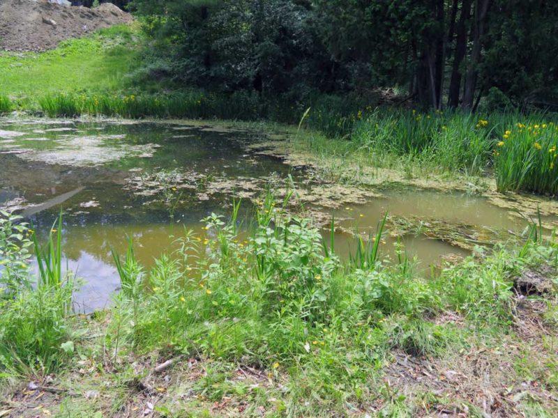 Emergent & Submerged pond weeds
