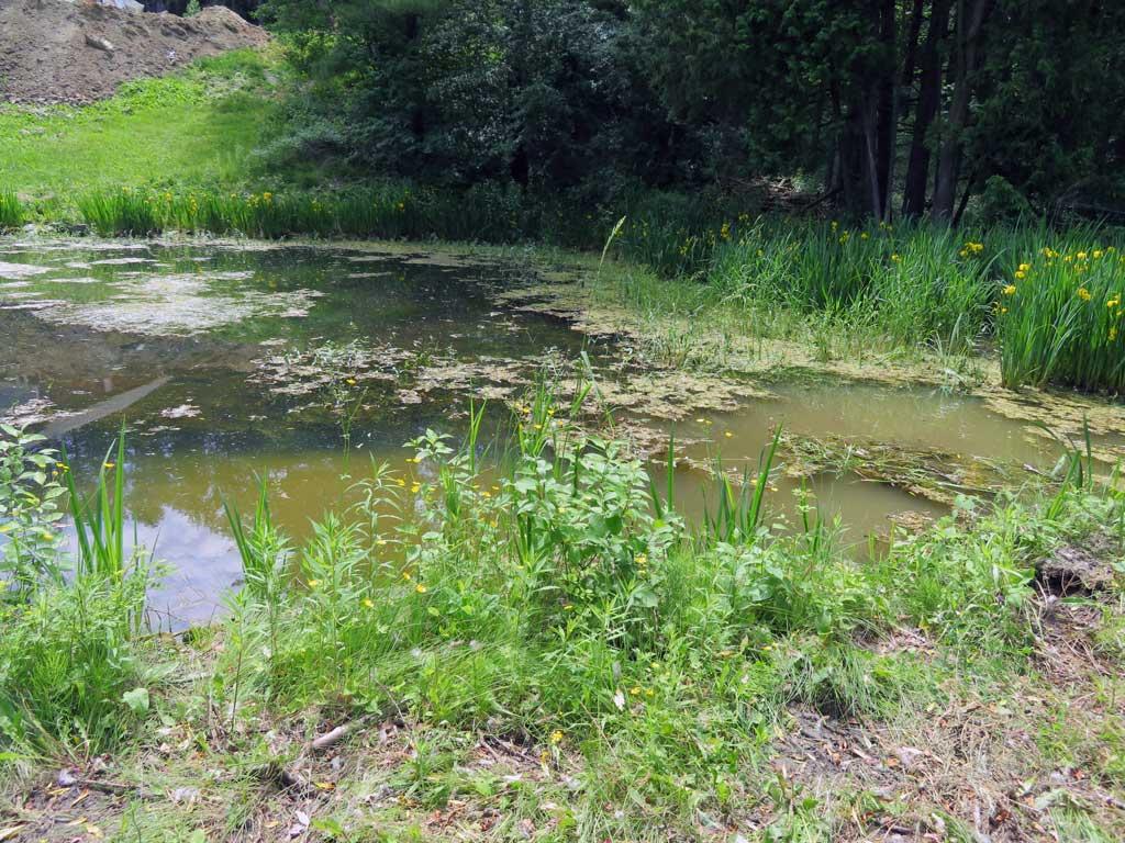emergent submerged pond weeds