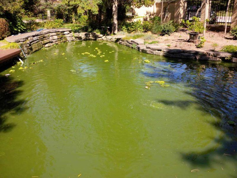 planktonic pond algae green water