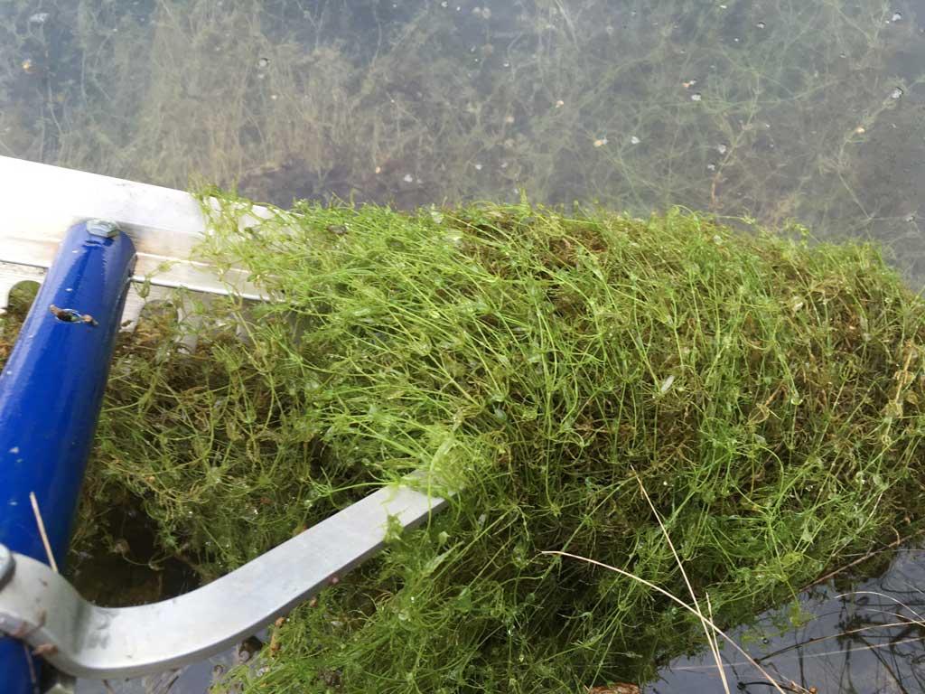 chara pond algae