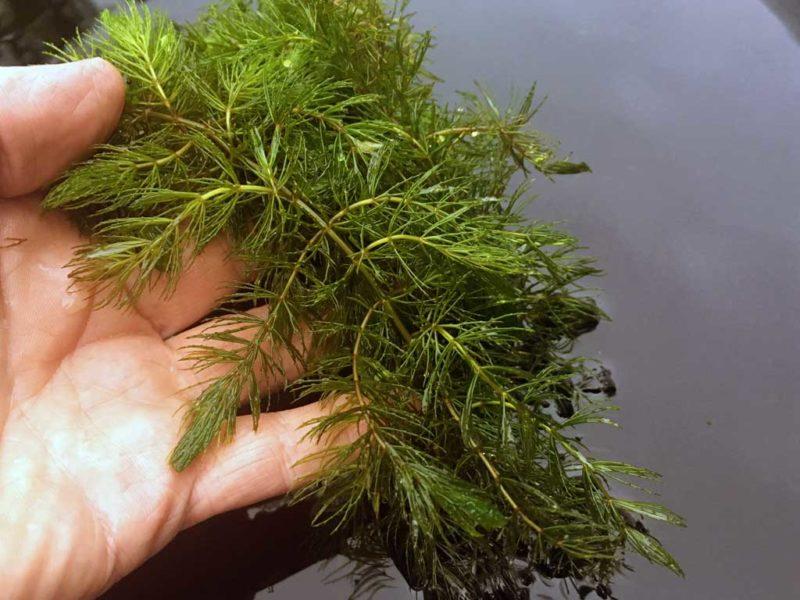 coontail hornwort
