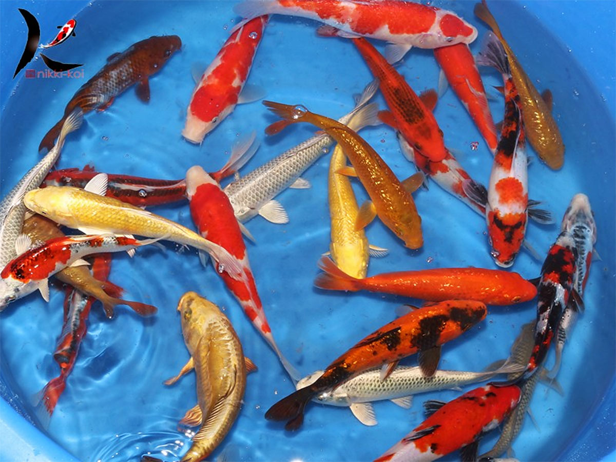 Japanese koi hydrosphere the koi pond experts for Japanese koi pool