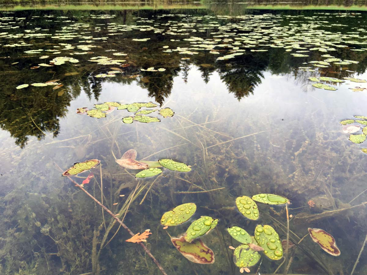 Pond Weed Plant Identification Guide Hydrosphere Water