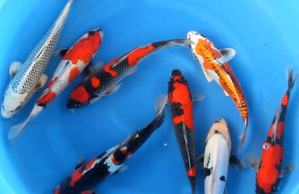 Japanese Nisai Koi Mix from Kase