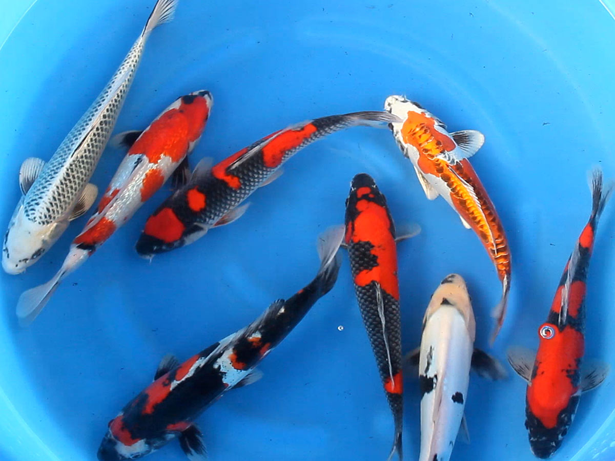 Japanese koi hydrosphere the koi pond experts for Kodama koi for sale