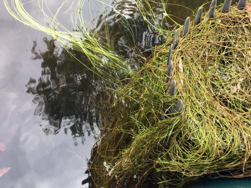 sago pond weed