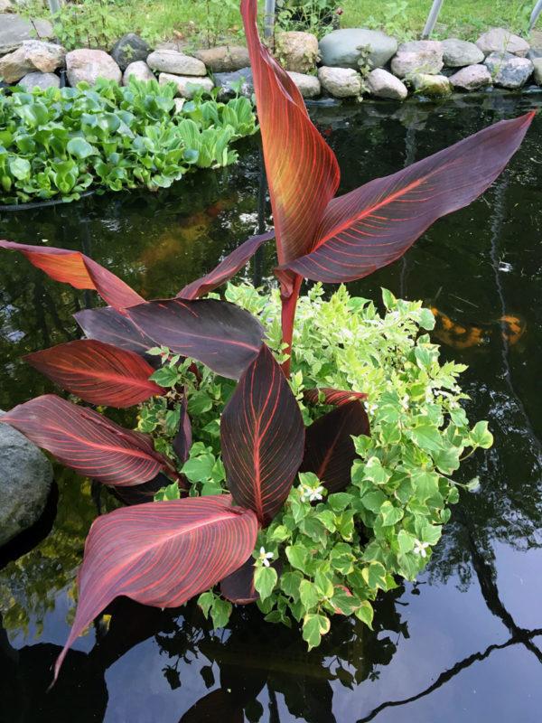 Custom Mixed Pond Plant Basket Canna