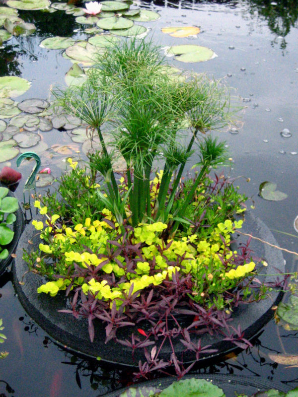 Custom Mixed Pond Plant Basket Papyrus