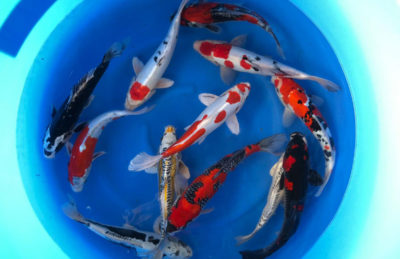 30-35 cm Nisai Japanese Koi Mix 2 From Aoki Koi Farm