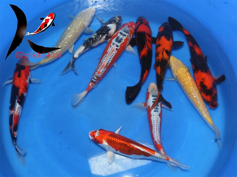 32-40 cm Japanese Koi Mix 2 From Marusei Koi Farm