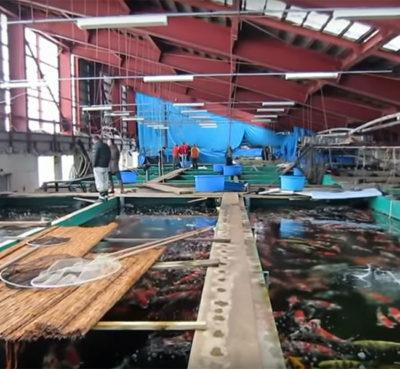 Marusei Koi Farm