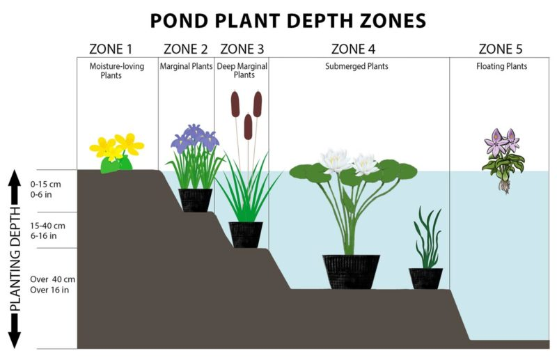 Pond Plant Depth Zones