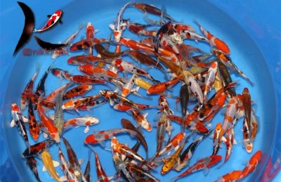 13-16 cm Japanese Koi Mix From Kase Koi Farm