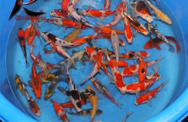 13-15 cm Japanese koi mix from Otsuka koi farm