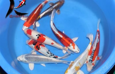 35-40 cm Nisai Japanese koi mix from Oyaji Koi Farm